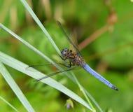 Terres bleues de libellule sur la lame de l'herbe Photographie stock
