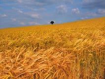 Terres cultivables avec des collectes de céréale Images stock