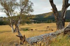 Terres cultivables avec des vaches Photo stock