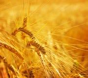 Terres cultivables d'agriculture de texture de blé Images stock