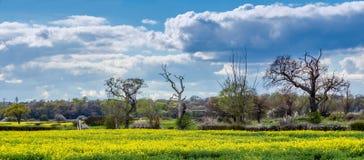 Terres cultivables d'Essex au printemps avec la culture de graine de colza Photographie stock