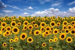 Terres cultivables de tournesol avec le ciel nuageux bleu photo libre de droits