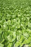 Terres cultivables vertes de zone de légumes de chou au printemps Photo libre de droits