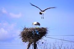Terres de cigogne dans son nid Photographie stock libre de droits