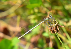 Terres de libellule sur la lame de l'herbe Image libre de droits