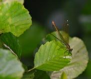 Terres de libellule sur la lame de l'herbe Photos stock