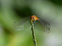 Terres de libellule sur la lame de l'herbe Photographie stock