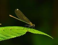 Terres de libellule sur la lame de l'herbe Image stock
