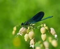 Terres de libellule sur la lame de l'herbe Photographie stock libre de droits