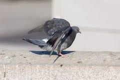 Terres de pigeon sur une pierre Images libres de droits