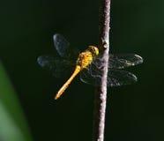 Terres jaunes de libellule sur la lame de l'herbe Images stock