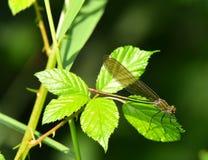 Terres jaunes de libellule sur la lame de l'herbe Image stock