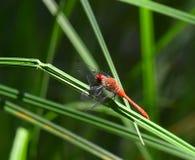 Terres rouges de libellule sur la lame de l'herbe Photographie stock libre de droits