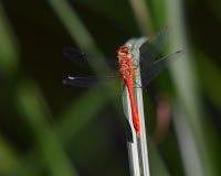 Terres rouges de libellule sur la lame de l'herbe Images stock