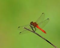 Terres rouges de libellule sur la lame de l'herbe Image libre de droits