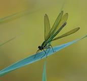 Terres vertes de libellule sur la lame de l'herbe Photographie stock libre de droits