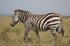 Terrestrial Animal, Wildlife, Zebra, Grassland Royalty Free Stock Photography