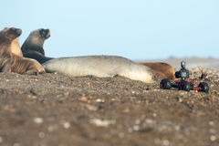 Terrestrial drone cameera near elephant seal Royalty Free Stock Image