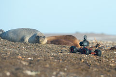 Terrestrial ground drone with camera while shooting seal. Radio controlled car with camera while photographing sea lion on the beach Royalty Free Stock Photo