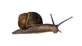 Garden Land Snail Stock Image