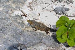 Iguana in a Caribbean island stock photo