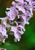 terrestrial orchid Royaltyfria Bilder