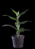 Terrestrial orchid, Brachycorythis henri, native specie terrestr Stock Photography