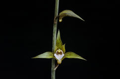 Terrestrial orchid flower Stock Images
