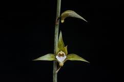 Terrestrial orchid flower. Bud and flower bloom macro Stock Images