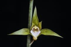 Terrestrial orchid flower. Bud and flower bloom macro Stock Photo
