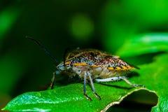 Stink bug. Terrestrial stink bug on a leaf Royalty Free Stock Images