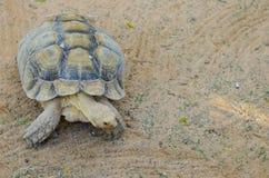 Terrestrial tortoise. The terrestrial tortoise moves slowly Royalty Free Stock Photography