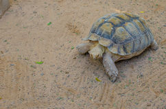 Terrestrial turtle. The terrestrial tortoise moves slowly Stock Photography