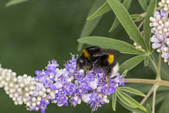 Terrestris Bombus, στιλβωμένος-παρακολουθημένο bumblebee από τη Γερμανία στοκ εικόνες