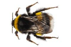 Terrestris del Bombus de la especie del abejorro Foto de archivo libre de regalías