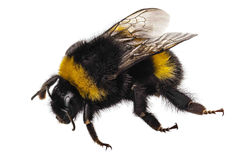 Terrestris del Bombus de la especie del abejorro Imagen de archivo libre de regalías