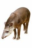 terrestris tapirus Στοκ εικόνα με δικαίωμα ελεύθερης χρήσης