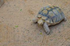 Terrestrische Schildkröte Stockfotografie