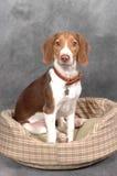 Terriër in het Bed van de Hond Stock Fotografie