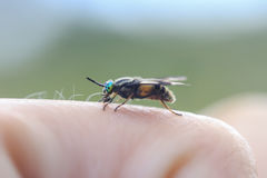 Terrible gadfly with green eyes sits on your finger Stock Photography
