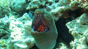 Terrible moray eel. Portrait of a murena (Moray) eel in its home taken in the wild Royalty Free Stock Image