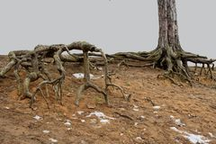 Terrible roots of trees. royalty free stock images