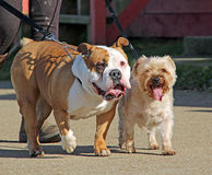 The terrible twins. Photo of bruiser the bulldog and his twin with tongues hanging out after a long hard walk Royalty Free Stock Photo