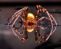 Terribly European cave spider Meta Menardi Stock Photo