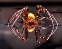 Terribly European cave spider Meta Menardi. ScaryEuropean cave spider Meta Menardi on a water mirrow Stock Photo