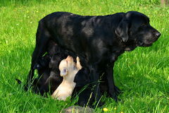 In terribly hungry. Labrador Retriever female with nine young puppies Stock Images
