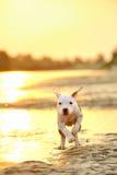 Terrier американского Стаффордшира в заходе солнца стоковое изображение