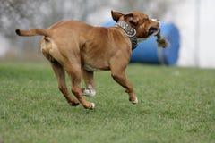terrier американского staffordshire Стоковое фото RF