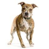 terrier американского staffordshire Стоковые Изображения RF