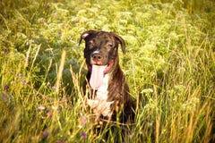 Terrier американского Staffordshire Стоковое Изображение